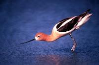 American Avocet, breeding plumage Fish and Wildlife Service