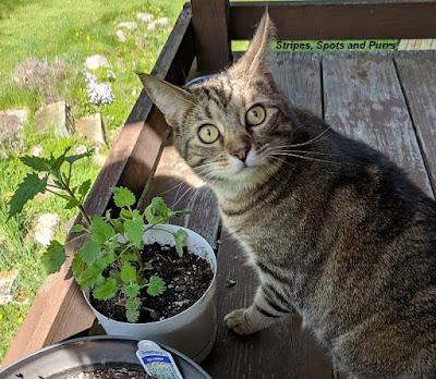 grow your own catnip