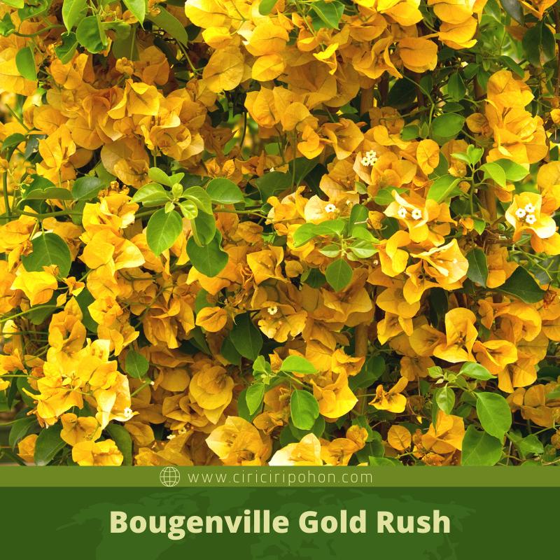 Ciri Ciri Pohon Bougenville Gold Rush
