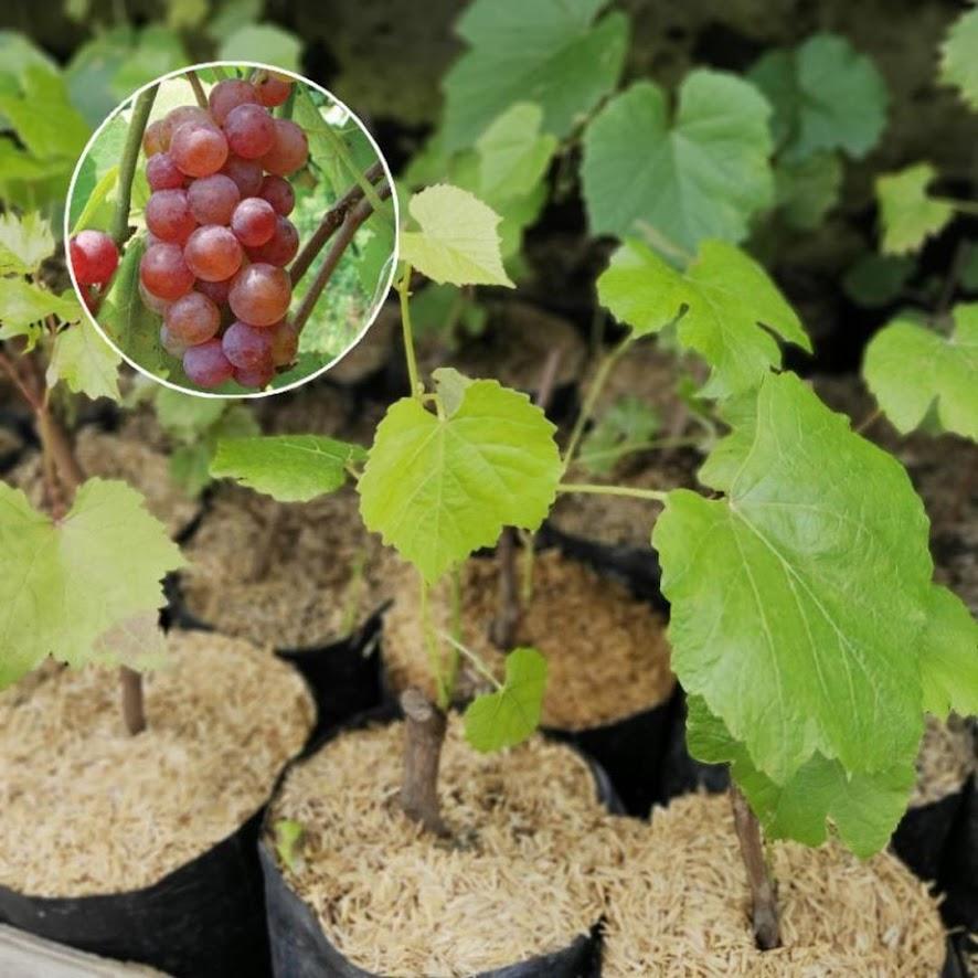 Bibit Tanaman Buah Anggur Merah Hitam Hijau Kendari