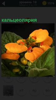 Желтые цветы растения кальцеолярия с зелеными листьями дома