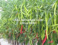 cabai, benih panex 100, cap panah merah, cabe besar, manfaat cabe, jual benih cabe, toko pertanian, toko online, lmga agro