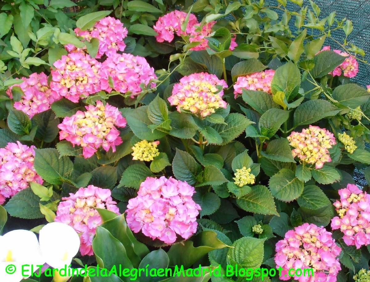 las polmicas sobre la poda de las hortensias hydrangea macrophylla