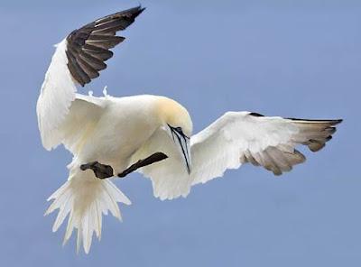 Gannet - Animals That Start With G