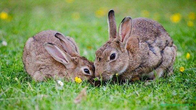 Budidaya kelinci Australia