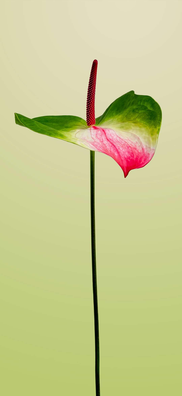 خلفية زهرة الفلامينكو بخلفية خضراء