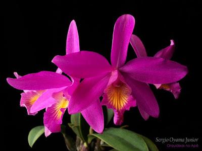 Orquídea Laeliocattleya Pink Favourite