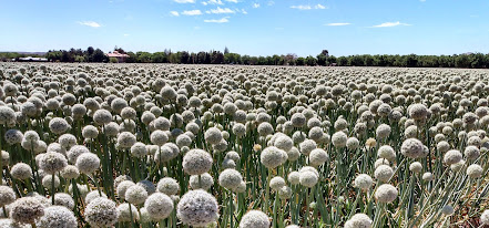 onion field with blooms
