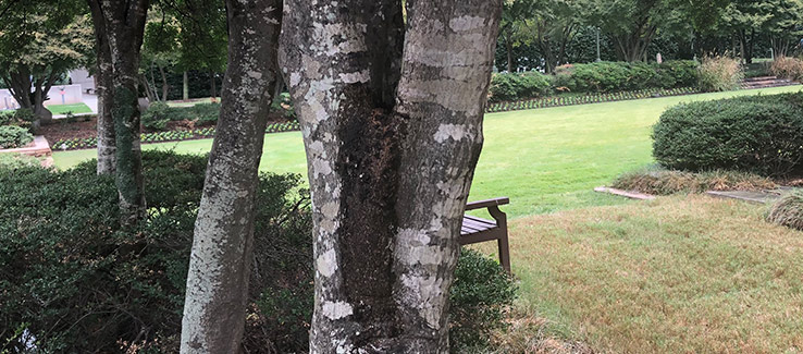 Tree infected with bacterial wetwood leaking slime flux