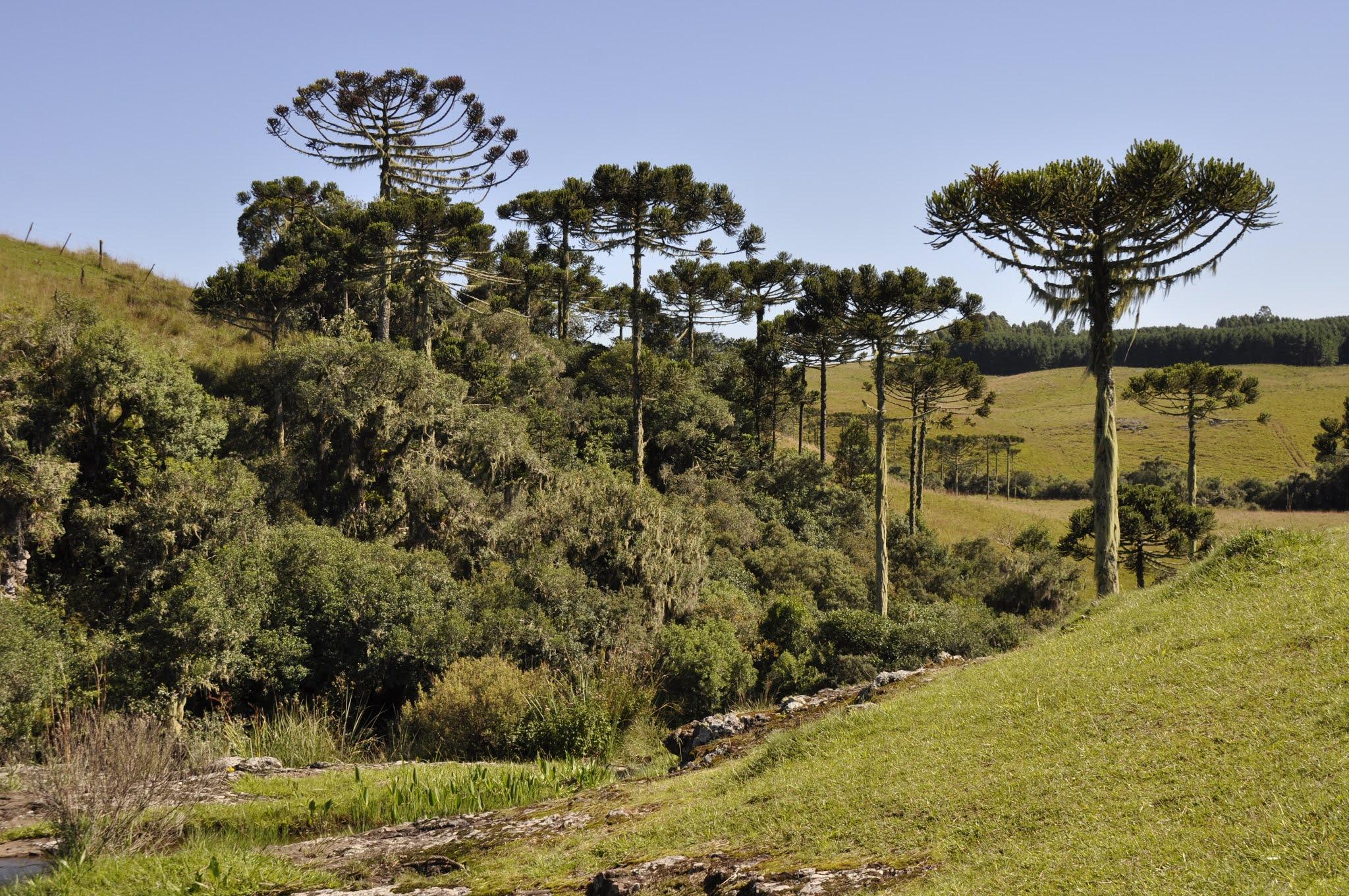 Sapecada de pinhão na grimpa: experiência autêntica nas Serras Gaúcha e Catarinense