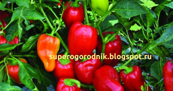 Как собрать семена перца и подготовить их к посеву