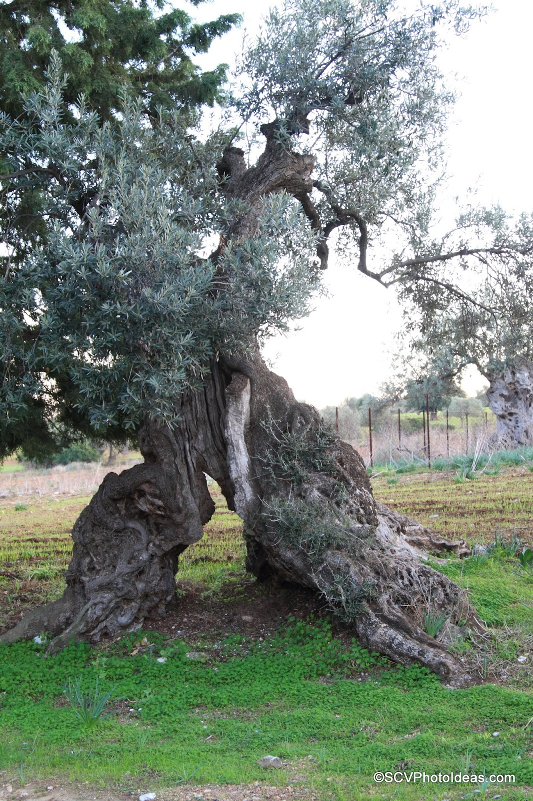 Ancient Olive with split roots
