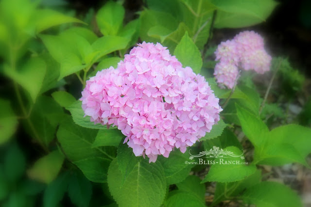 Blooming Hydrangea, Bliss-Ranch.com