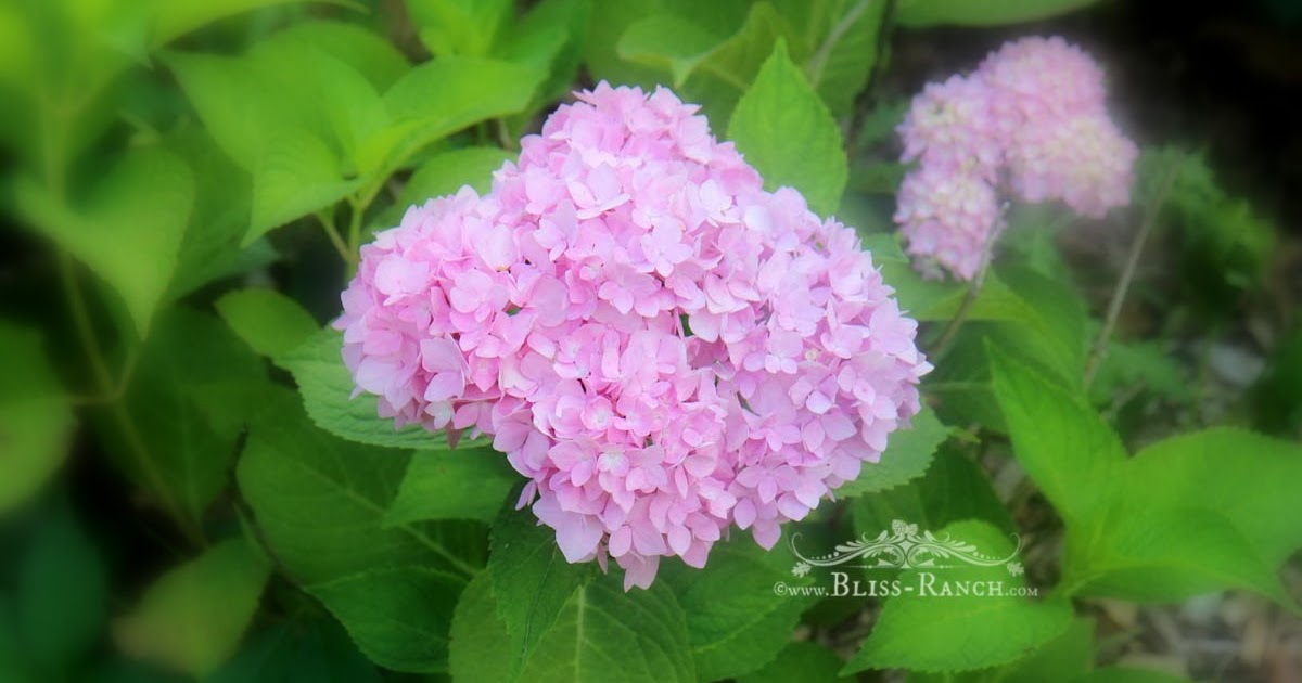 Bliss Ranch Blooming Hydrangea