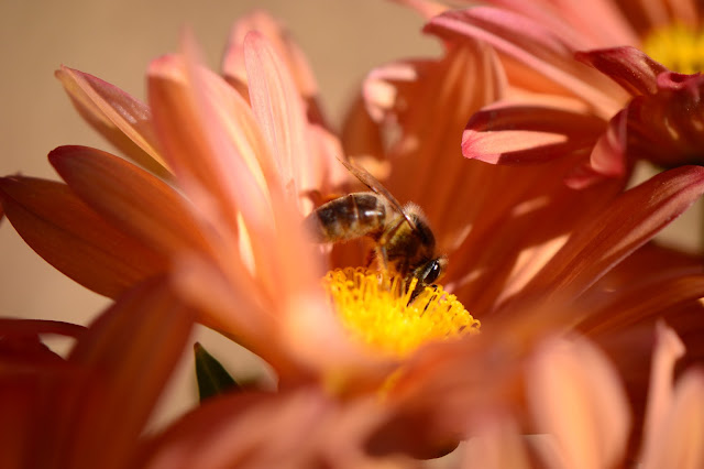 amy myers, journal of a thousand things, small sunny garden, chrysanthemum, bee, autumn flower, garden photography