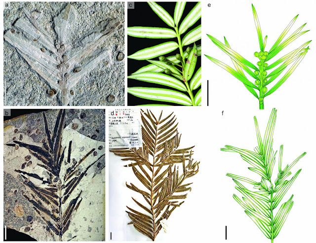 Jurassic fossils from northeastern China reveal morphological stasis in the catkin-yew