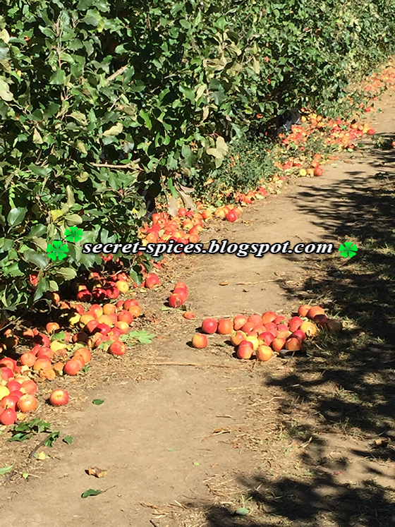Incredible day Apple Picking at Bilpin, NSW, Australia
