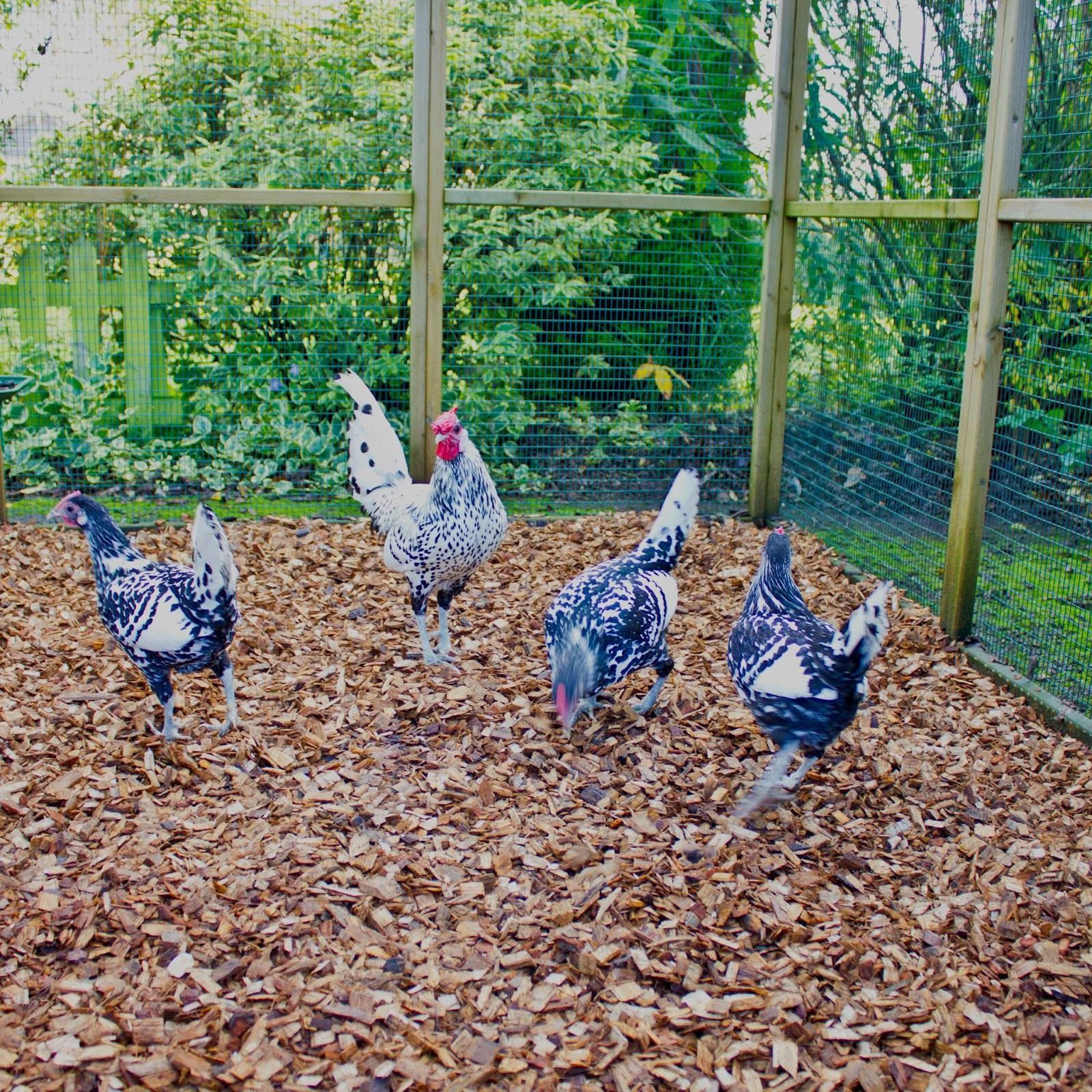 Flyte so fancy chickens and mud using hardwood woodchip for Chicken run for 6 chickens