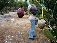 Berba maslina, Postira otok Brač slike