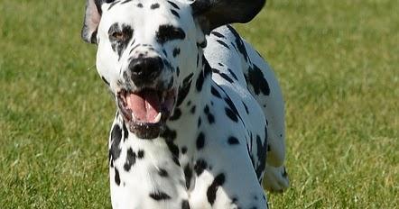 40+ Anjing dalmatian terbesar terbaru