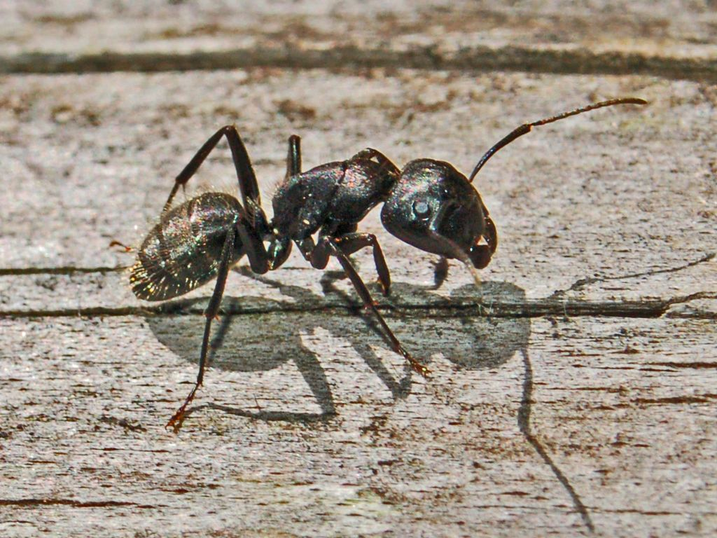 Tip Top Clean Team: Are Argentine ants harmful to humans?