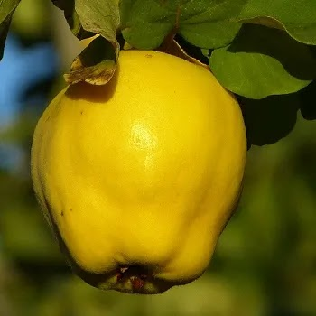 श्रीफल, Quince fruits name in Marathi