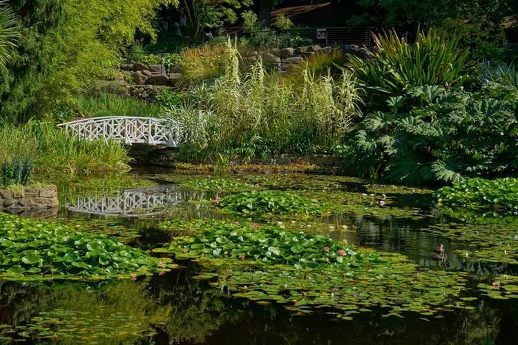 Nenúfares (Gunnera and Arundo) en Real Jardín Botánico de Tasmania, Australia