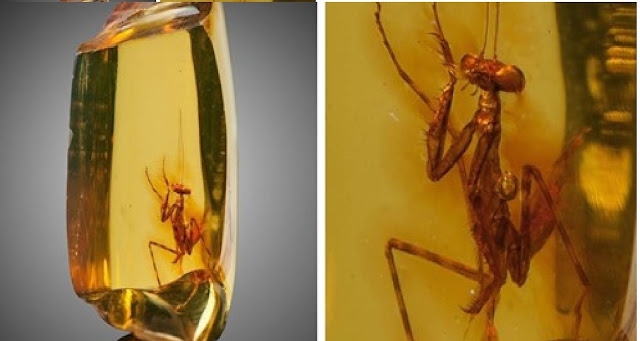 30-Million-Years-Old Praying Mantis Is Perfectly Preserved In Piece Of Amber
