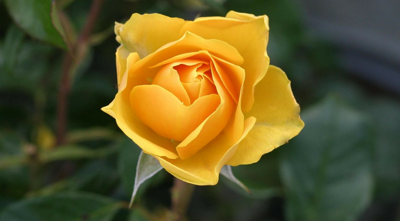 yellow rose 1556129257
