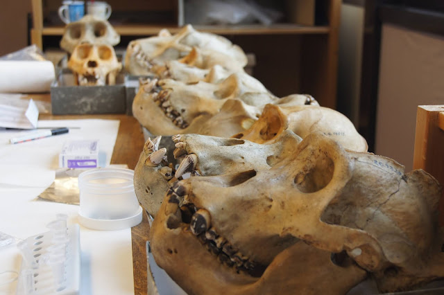 Researchers reconstruct the oral microbiomes of Neanderthals, primates, and humans