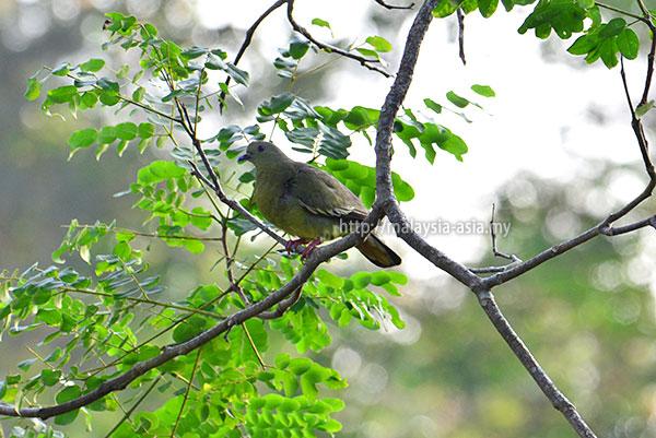 Sarawak Pink Neck Green Pigeon