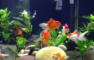 Perawatan Ikan Maskoki di Aquarium