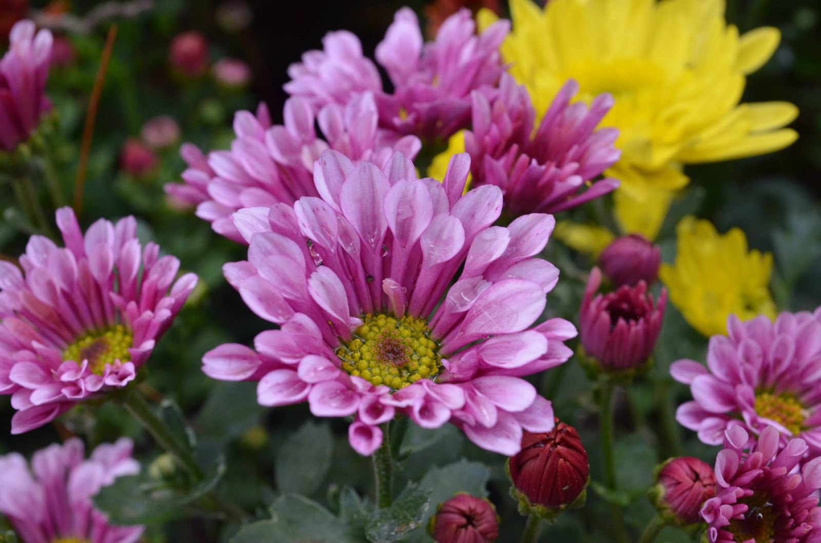 Postcard series i top 10 most beautiful flowers in baguio for Jardin necitas