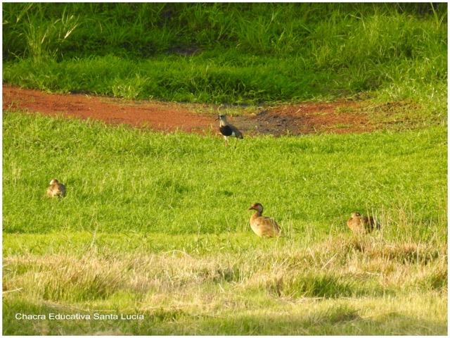 Tero y patos a orillas del tajamar grande - Chacra Educativa Santa Lucía