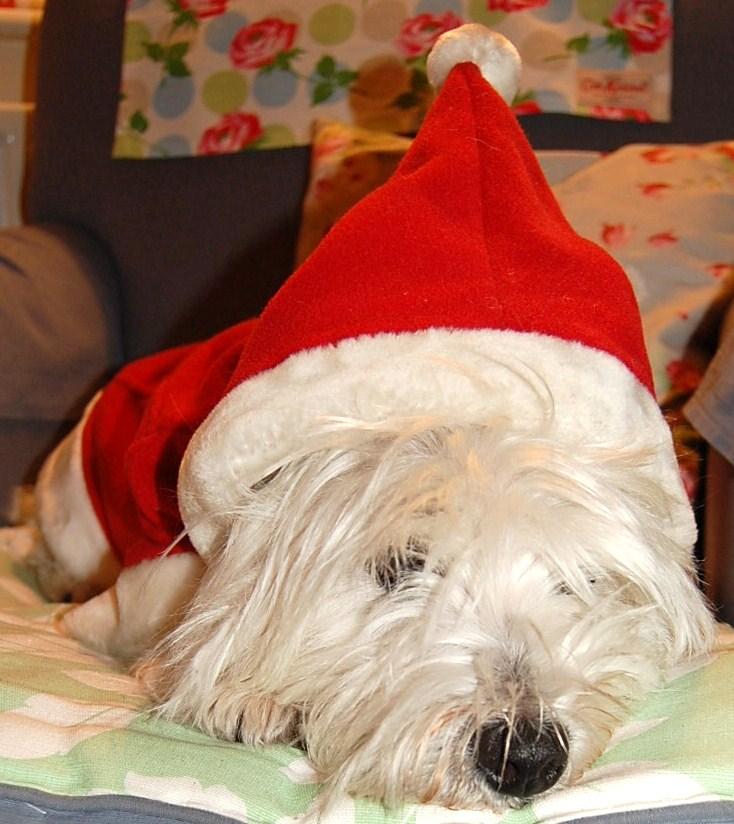 westie in santa hat