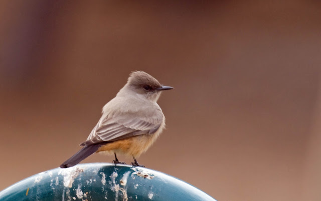 Say's Phoebe at Felicita County Park