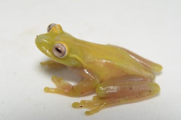 Diego Cisneros-Heredia y Juan Manuel Guayasamin, investigadores de la USFQ, participan en el descubrimiento de una nueva especie de rana arborícola