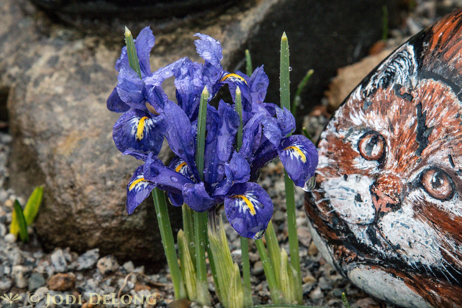 Bloomingwriter gardening in nova scotia april 2016 in alices rock garden a cluster of dwarf iris probably i reticulata are guarded by a stone cat as opposed to the real ones who live there izmirmasajfo Choice Image