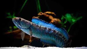 Cara Merawat Ikan Channa Andrao Untuk Pemula Griya Arka Kendal Griya Arka Kendal