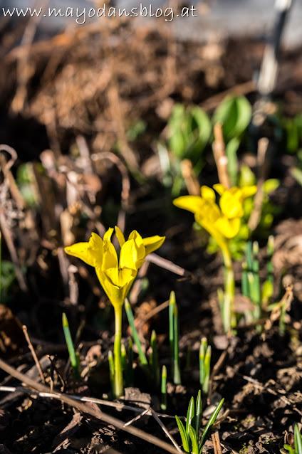 gelbe Mini-Iris