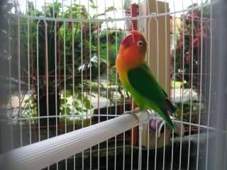 Burung Lovebird - Perawatan Harian Burung Lovebird Agar Ngekek Panjang - Cara Membuat Kekakan Burung Lovebird Berurasi Panjang Untuk Burung Lovebird