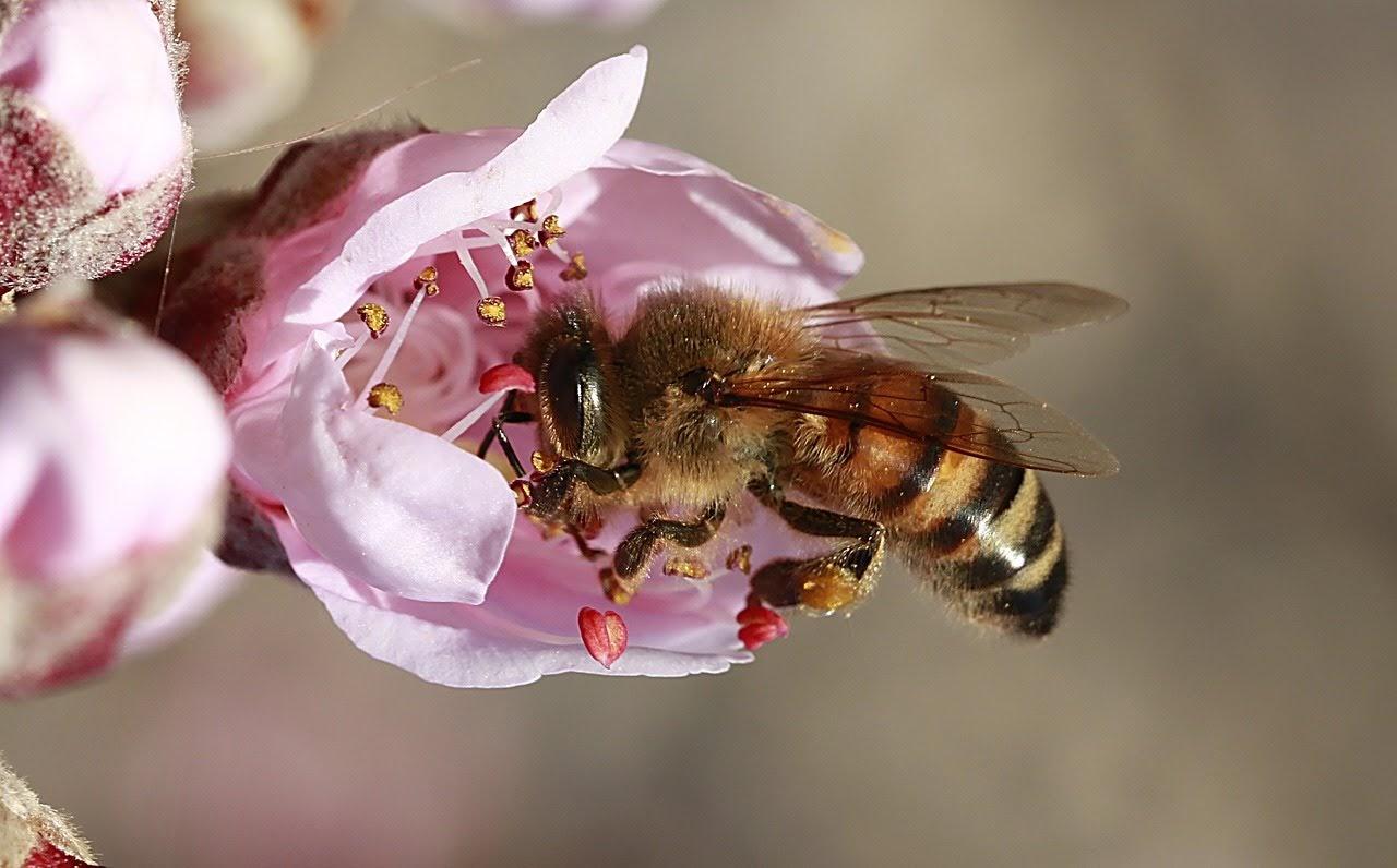 صورة نحلة العسل تمتص الرحيق من الازهار - اجمل واحلى صور الطبيعة الجميلة والخلابة في العالم