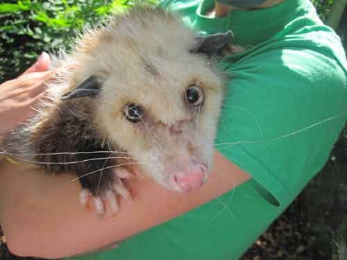 Soper Creek Wildlife Rescue Opossum.