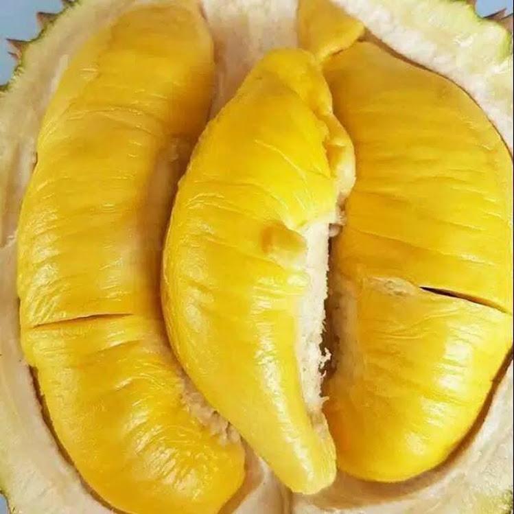 Bibit durian montong Sumatra Utara