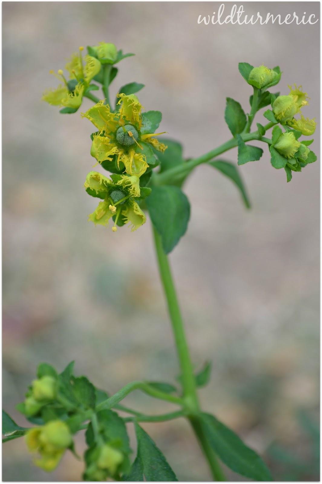 5 Top Medicinal Uses Of Ruta Graveolens (Rue Plant | Ruda)