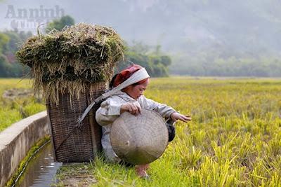 Vẻ đẹp Mai Châu mùa lúa gặt 2