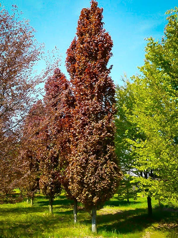 Uses For Beech Wood ~ Red obelisk european beech a winner