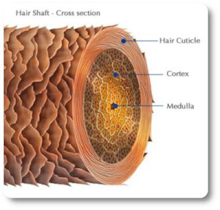 Cross section of a human hair