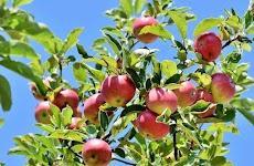 Jurnal-Jurnal Penanganan Pasca Panen Buah Apel