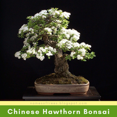 Chinese Hawthorn Bonsai
